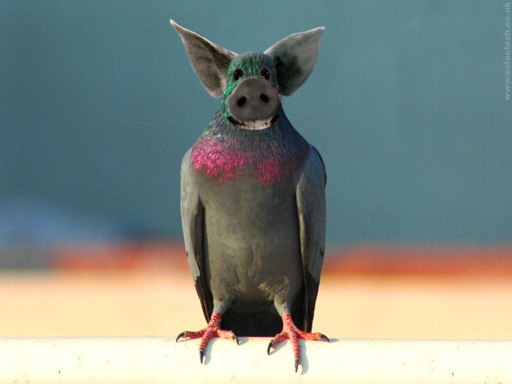 pigeon-conos